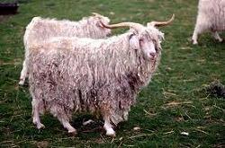 アンゴラ山羊.jpg